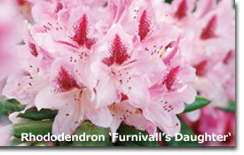 Rhododendron Furnivalls Daughter