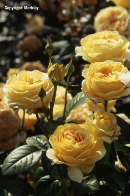 Rosa 'Candlelight'  - R -