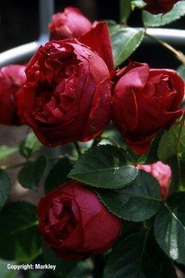 Rosa 'Red Eden Rose' -R-